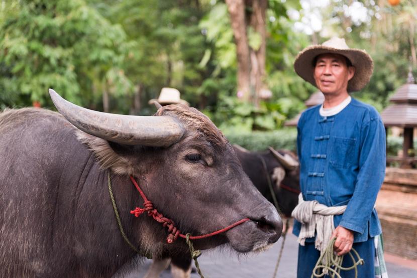 朝と夕、リゾートで働く水牛たちと触れ合うチャンスが!